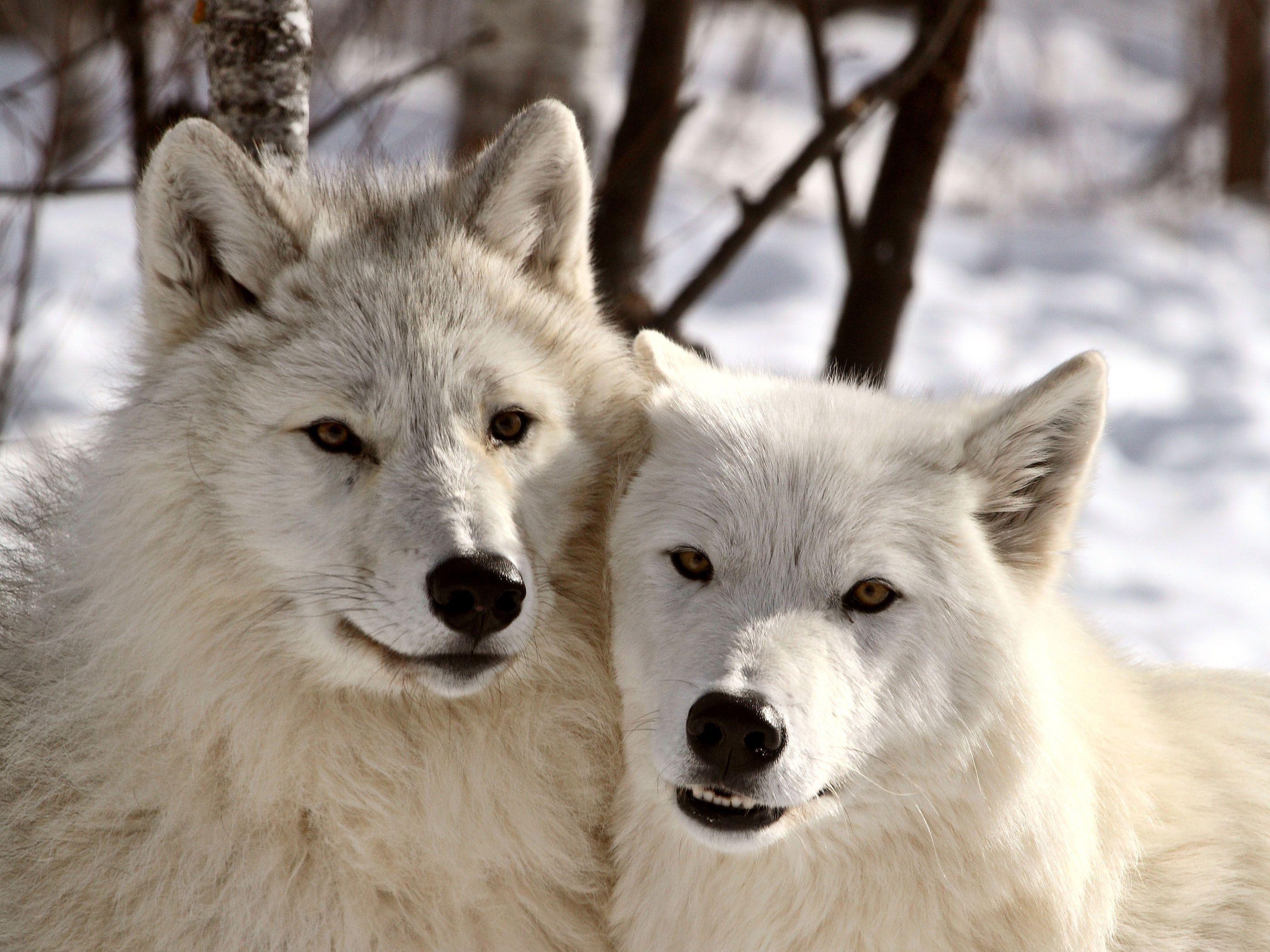 2800x2100 Hình nền chó sói Bắc Cực 11 - 2800 X 2100