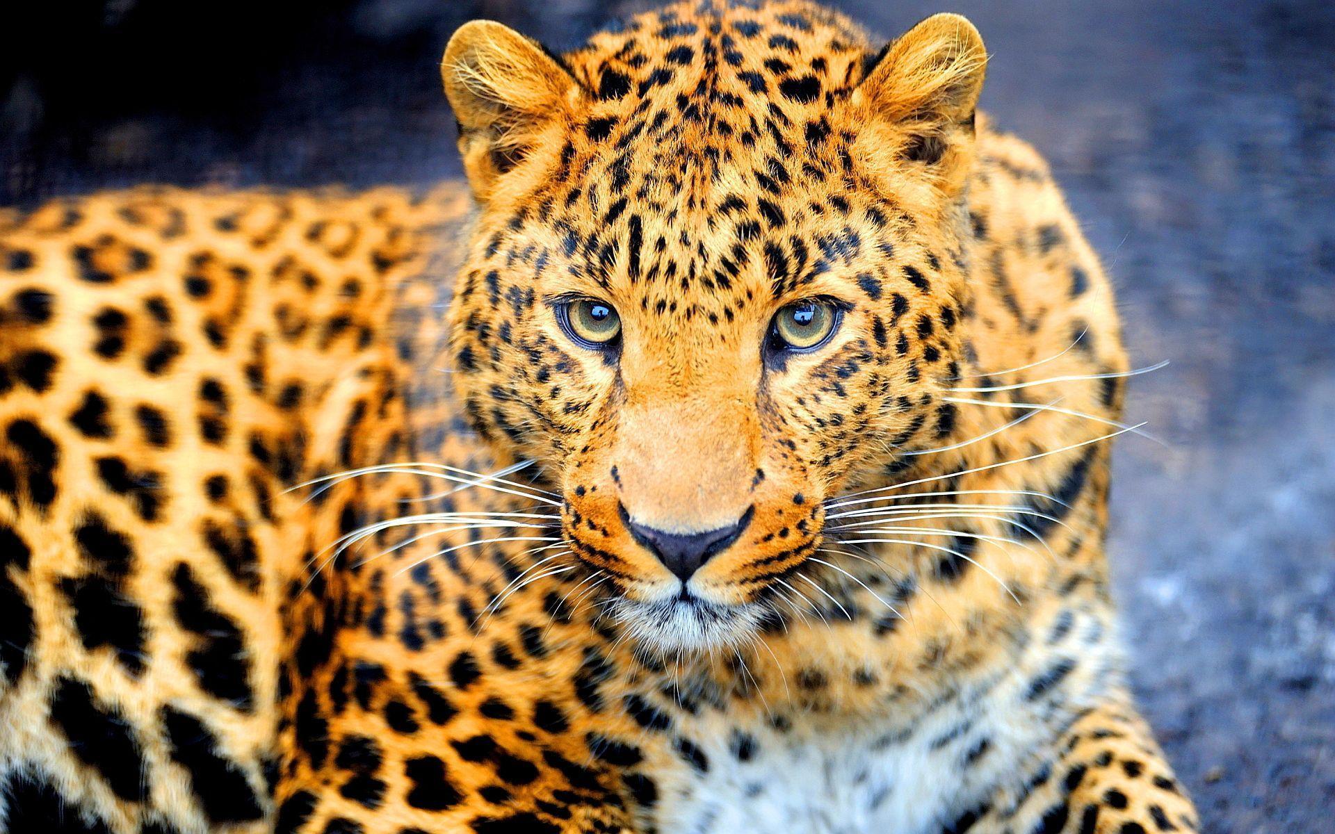 "3840x2160 Beautiful Jaguar Wallpaper | Wallpaper Studio 10 | Tens of thousands ..."">"