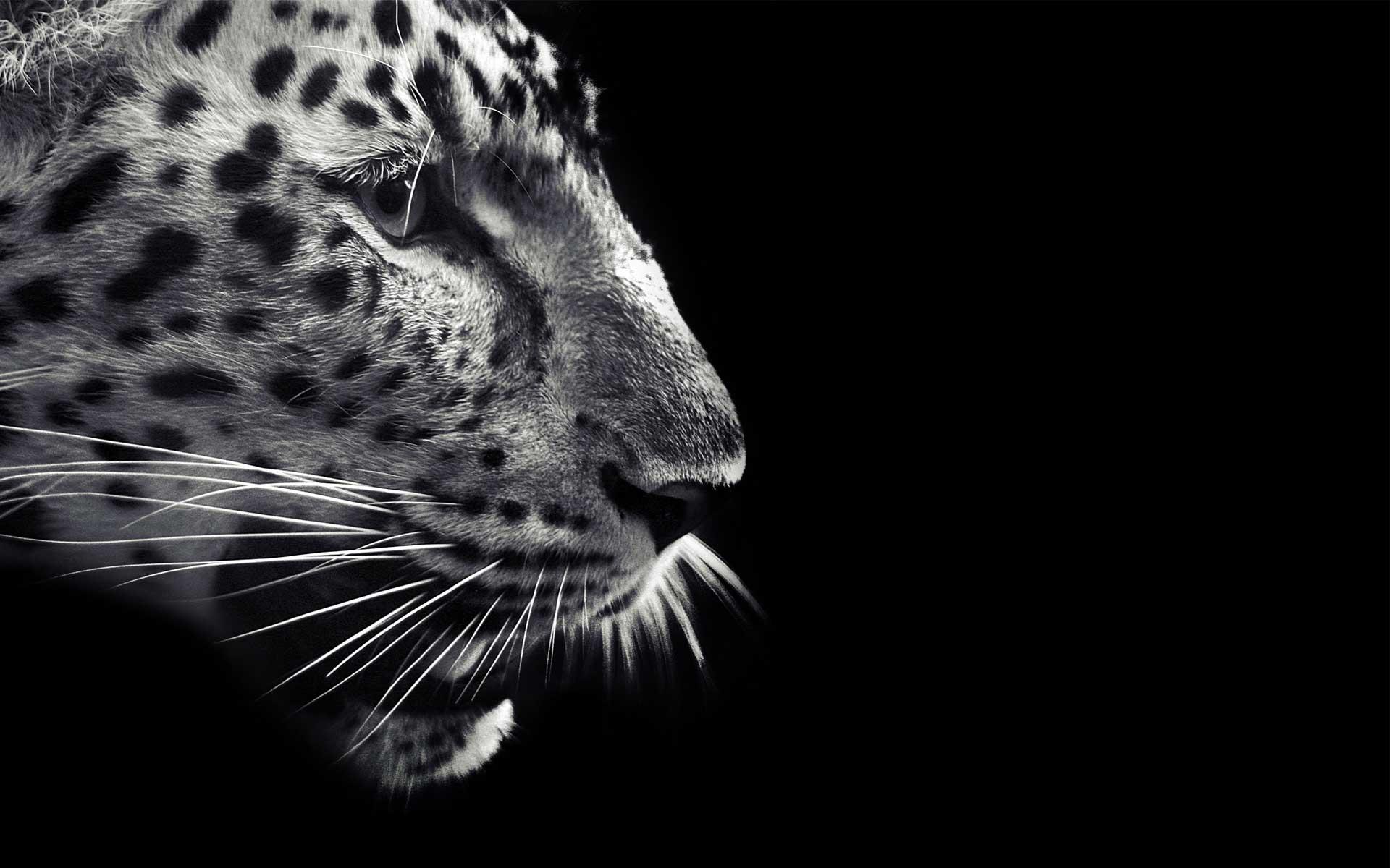 """1920x1080 animals, wildlife, Jaguar, feline, leopards, wild animals, Wild ..."""">"""