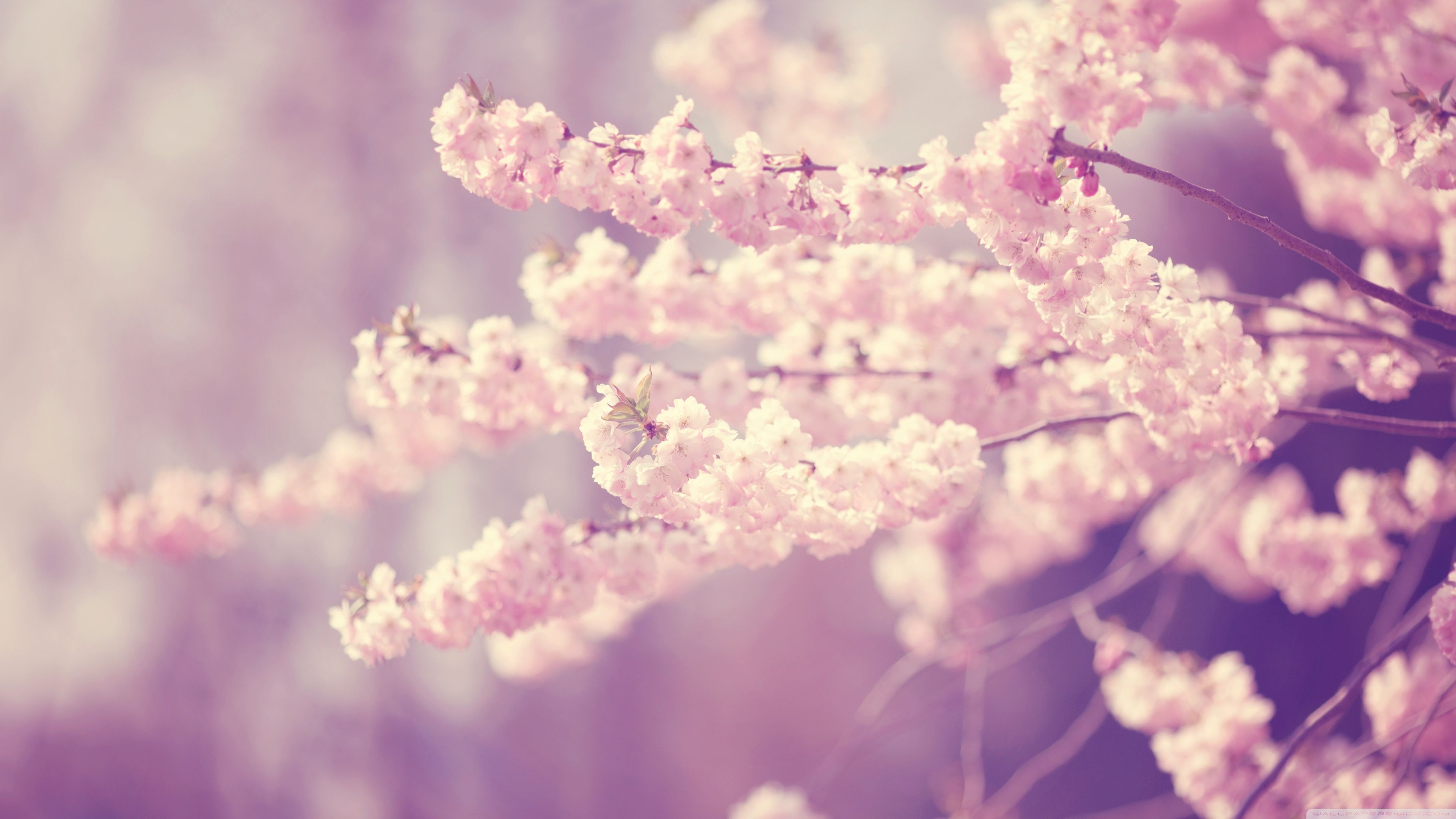 Pink Cherry Blossom Wallpapers Top Free Pink Cherry Blossom