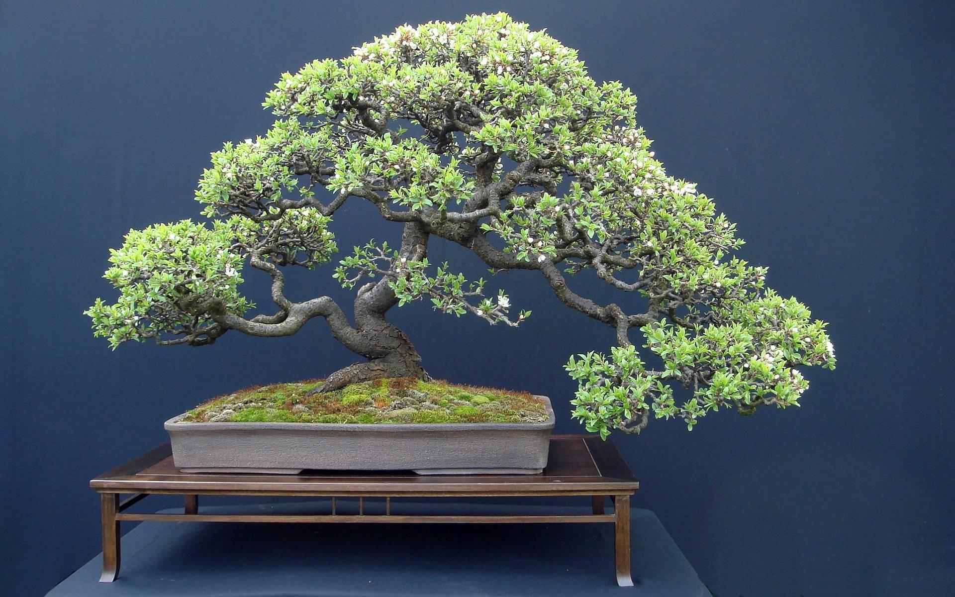 Bonsai Tree Wallpapers Top Free Bonsai Tree Backgrounds Wallpaperaccess