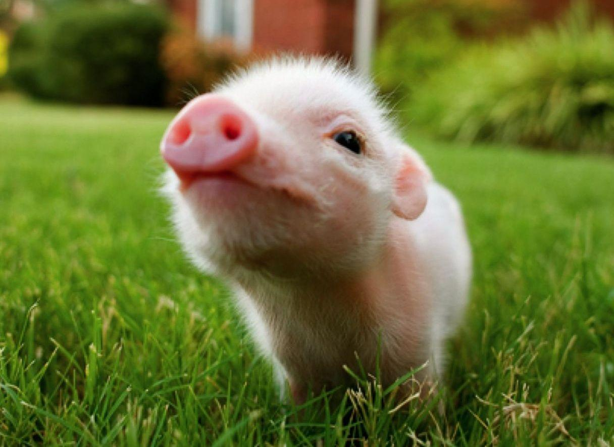 Pig Wallpapers - Top Free Pig Backgrounds - WallpaperAccess