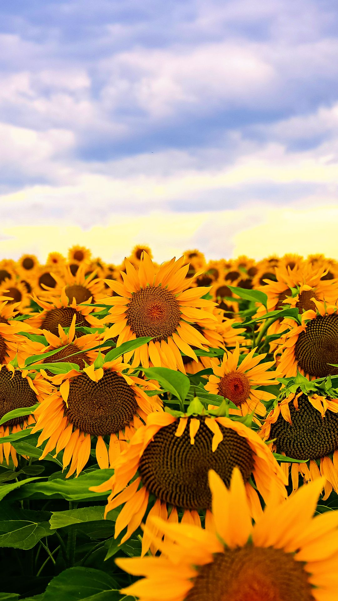 Sunflower Iphone Wallpapers Top Free Sunflower Iphone Backgrounds Wallpaperaccess