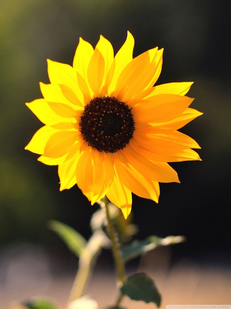 Sunflower iPhone Wallpapers - Top Free Sunflower iPhone ...