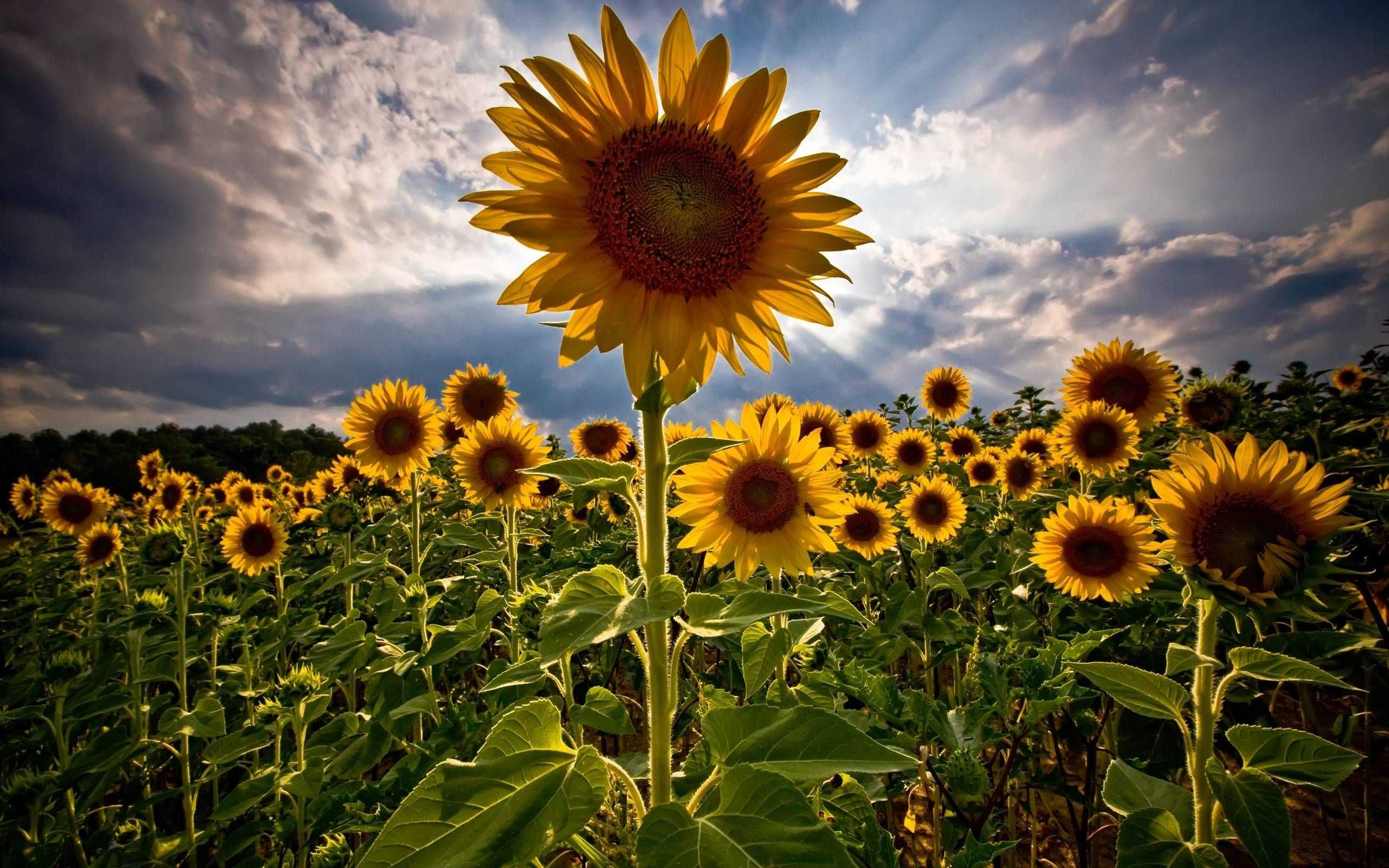 Sunflower iPhone Wallpapers - Top Free Sunflower iPhone