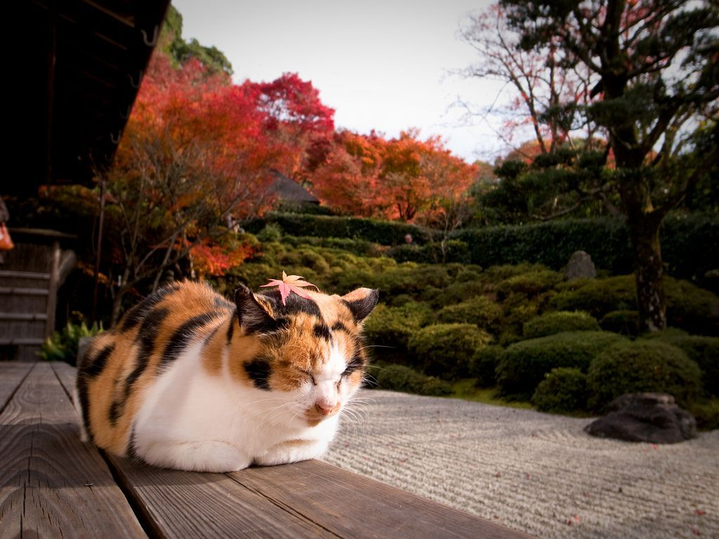 Japan Cat Wallpapers Top Free Japan Cat Backgrounds Wallpaperaccess