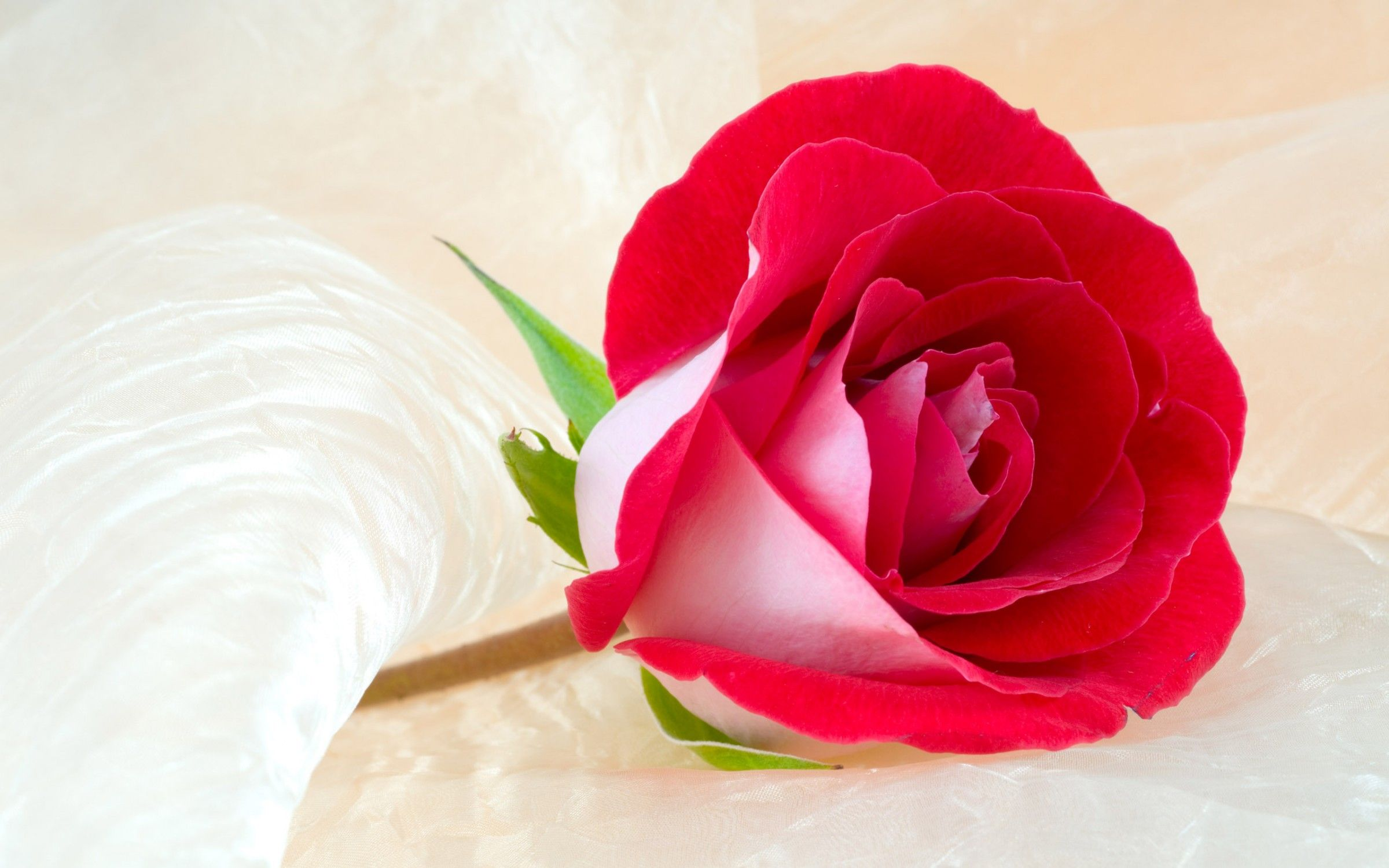 Beautiful Rose Hd Wallpapers Top Free Beautiful Rose Hd Backgrounds Wallpaperaccess