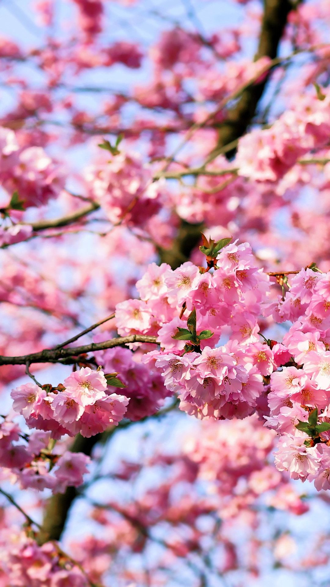 Japanese Flowers Iphone Wallpapers Top Free Japanese