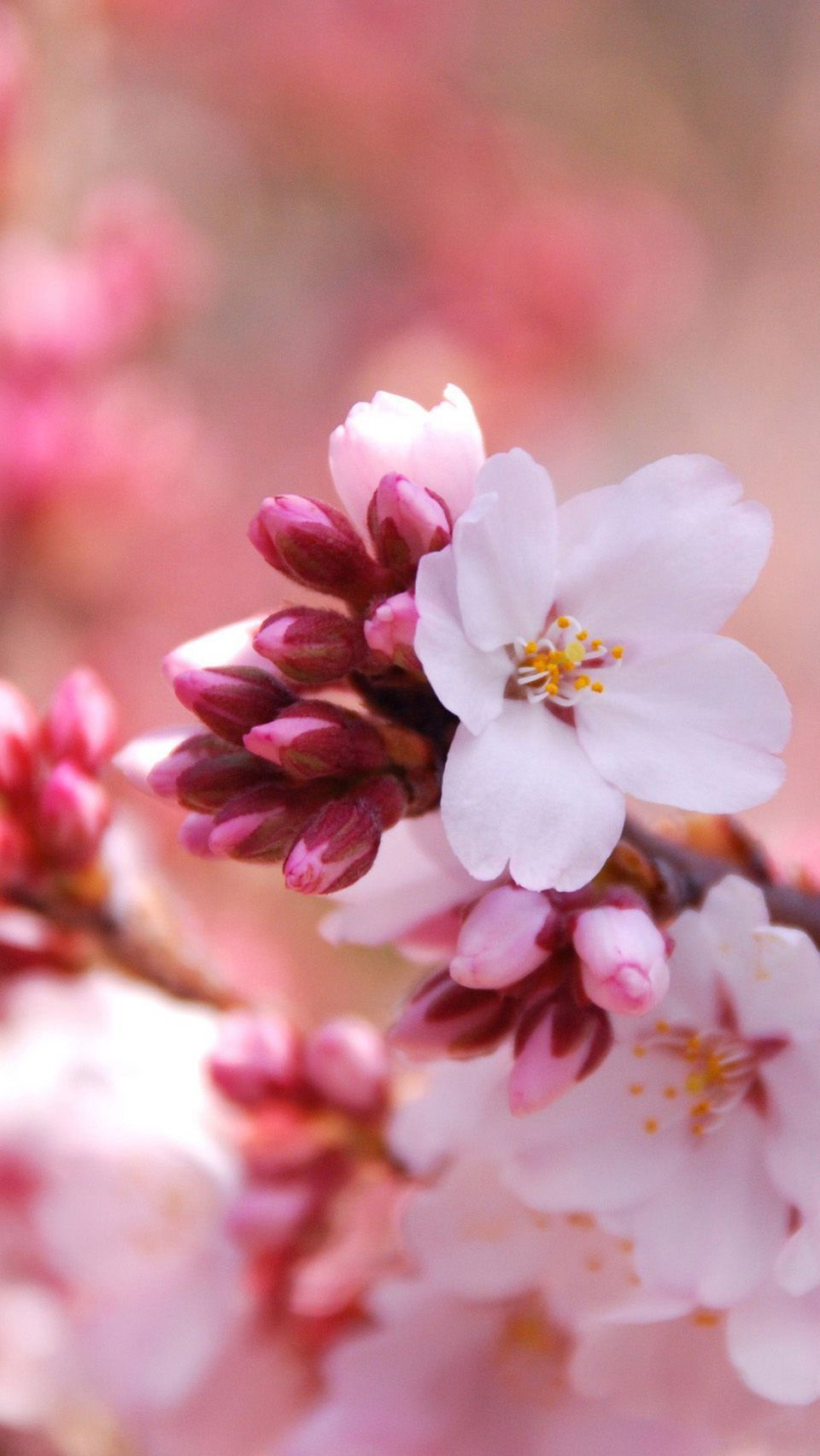 Japanese Cherry Blossom iPhone Wallpapers - Top Free ...