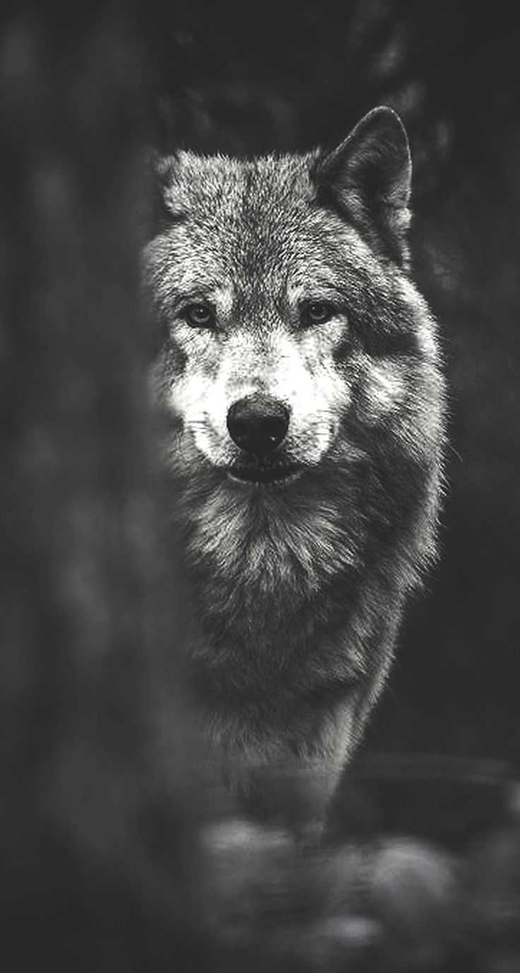 Wolf Phone Wallpapers Top Free Wolf Phone Backgrounds Wallpaperaccess