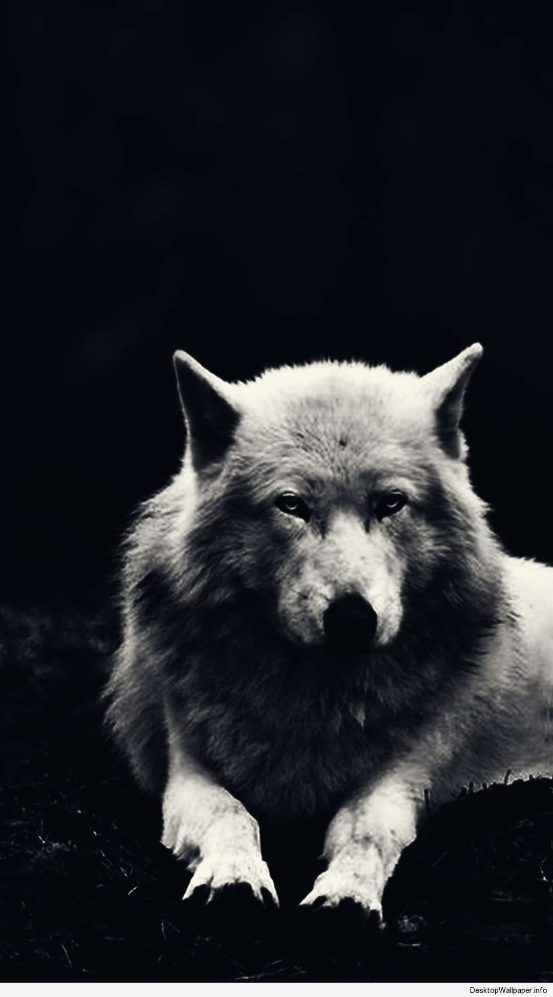 Hd Wolf Wallpapers Top Free Hd Wolf Backgrounds