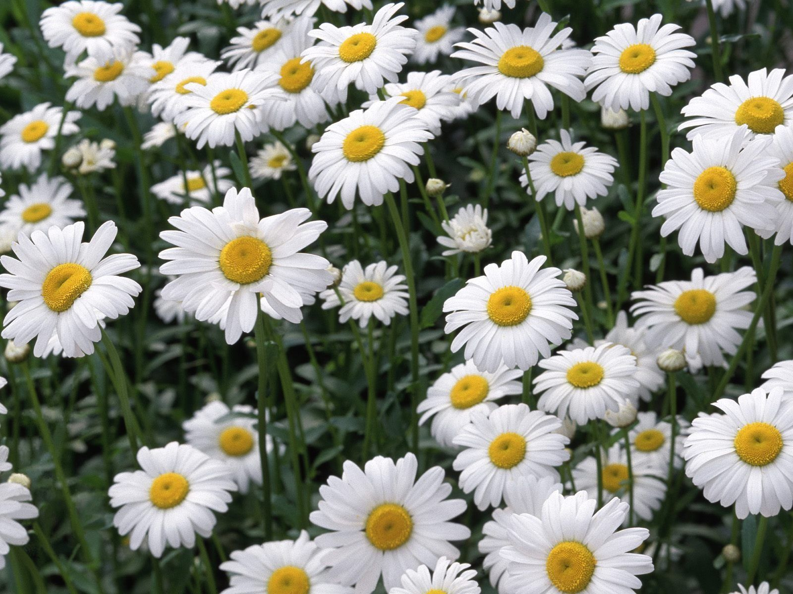 Daisy Wallpapers Top Free Daisy Backgrounds Wallpaperaccess