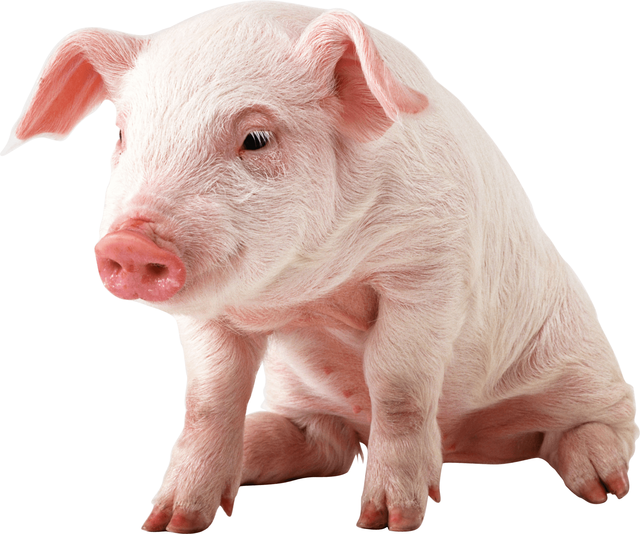 Kawaii Cute Pigs Wallpapers Top Free Kawaii Cute Pigs Backgrounds Wallpaperaccess