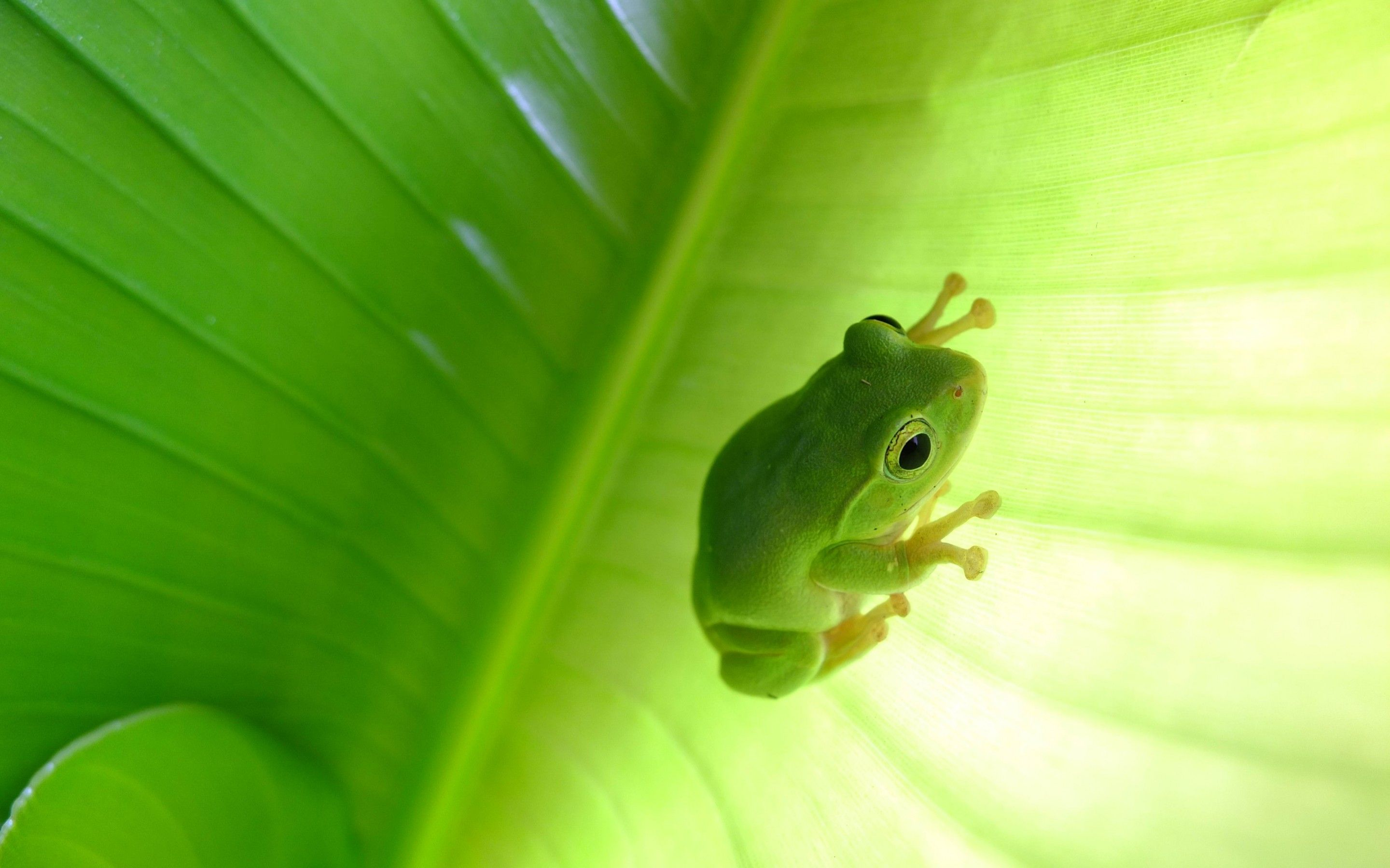 Tree Frog Wallpapers Top Free Tree Frog Backgrounds Wallpaperaccess