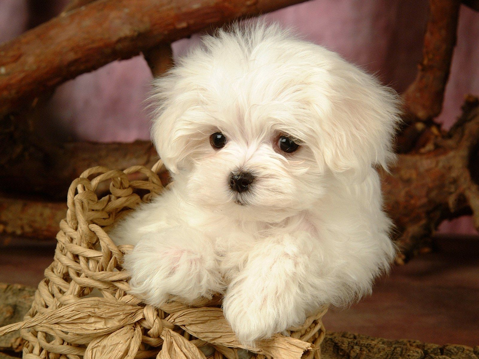 Cute White Puppies Wallpapers Top Free Cute White Puppies Backgrounds Wallpaperaccess