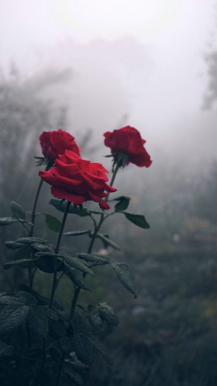 Aesthetic Rose Wallpapers Top Free Aesthetic Rose