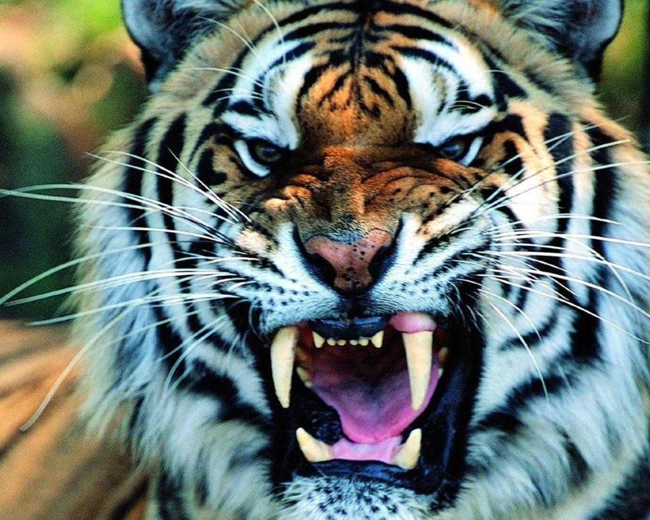 Tiger Wallpapers Top Free Tiger Backgrounds Wallpaperaccess