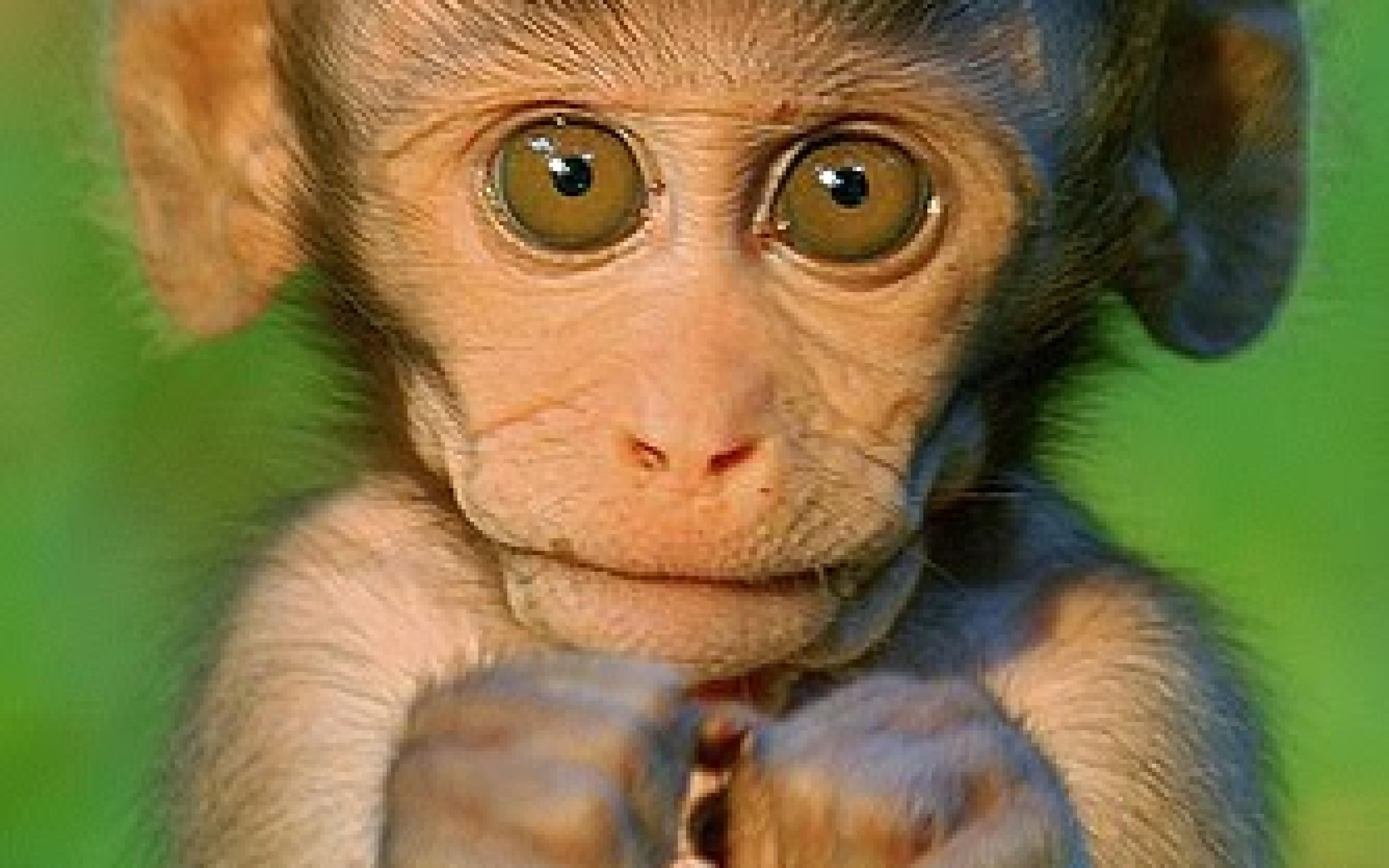 Cute Baby Monkey HD Wallpaper Background