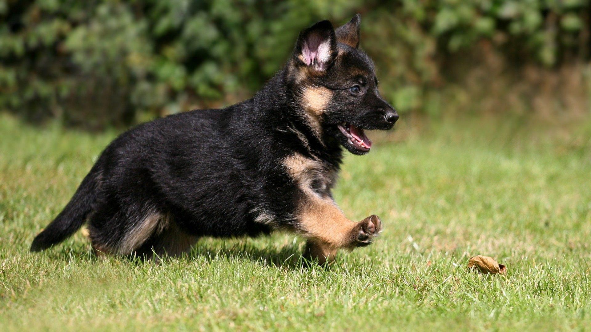 German Shepherd Puppies Wallpapers Top Free German Shepherd Puppies Backgrounds Wallpaperaccess