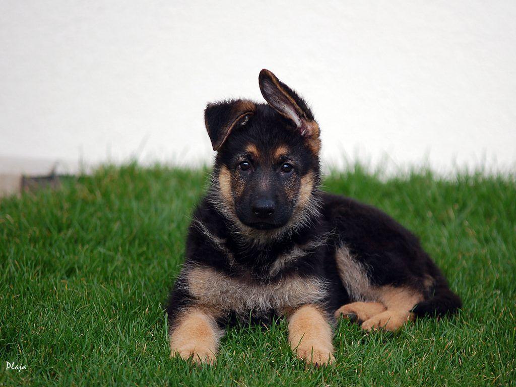 German Shepherd Puppies Wallpapers Top Free German Shepherd