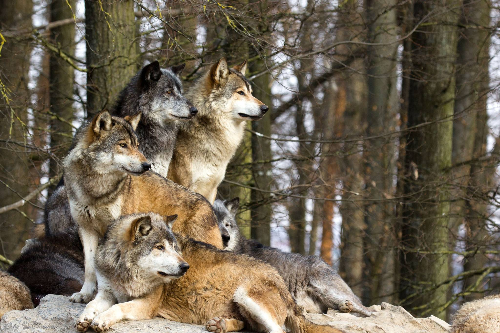 Pack Of Wolves Wallpapers Top Free Pack Of Wolves Backgrounds Wallpaperaccess