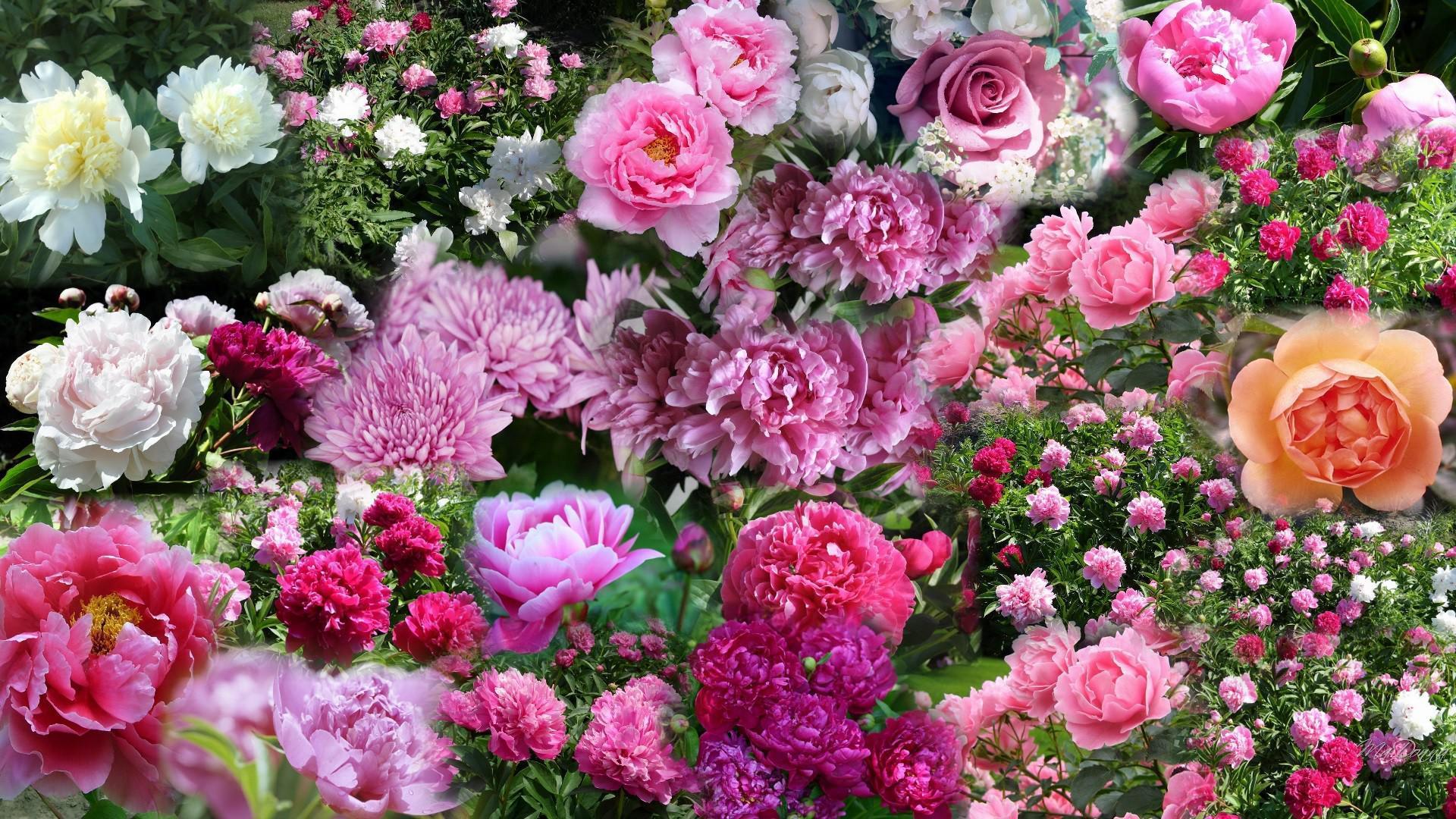 бурштину живые обои на телефон цветы пионы декорирования окон