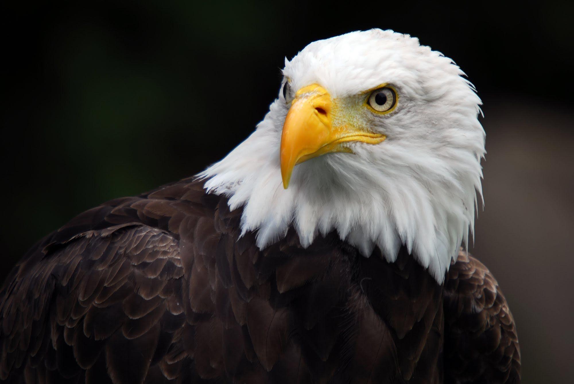 American Bald Eagle Desktop Wallpapers Top Free American