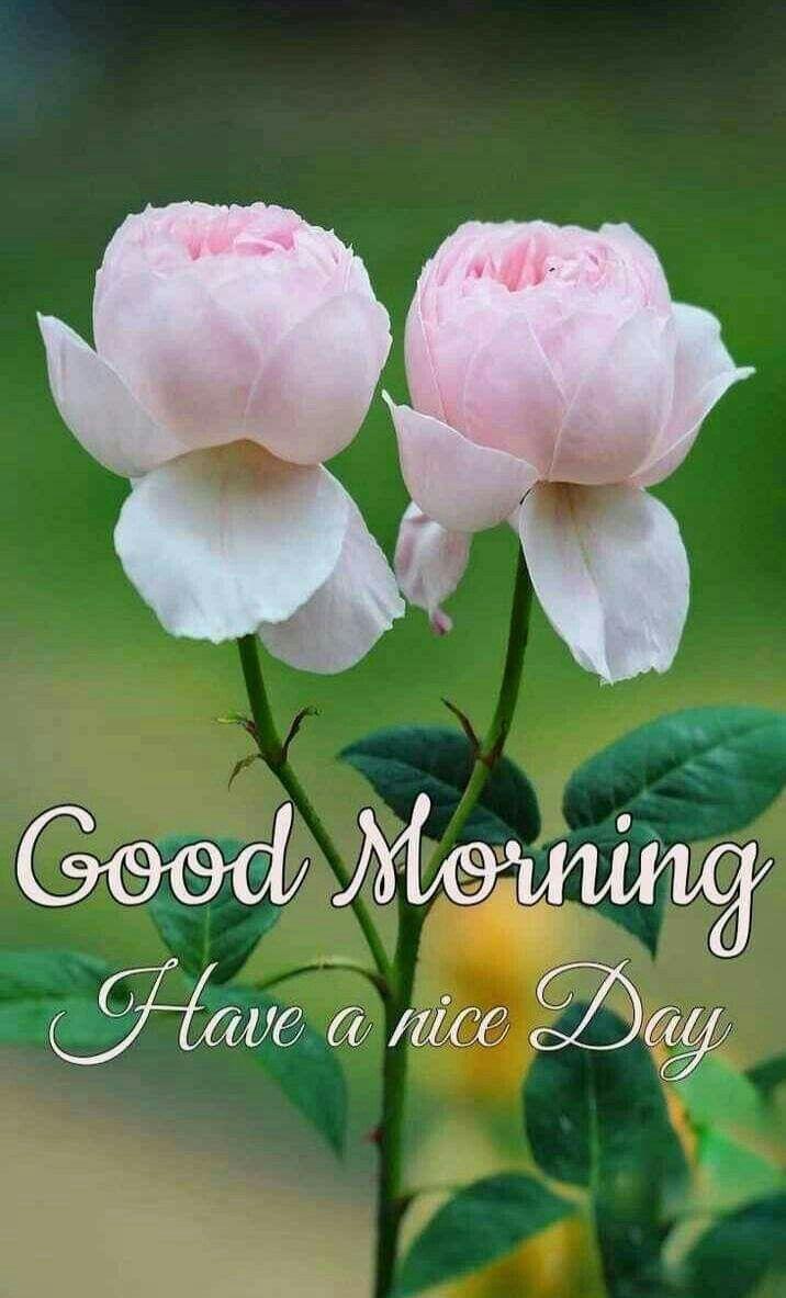 Hình ảnh Chào buổi sáng 716x1183, Hình nền Chào buổi sáng, Hình ảnh Chào buổi sáng đẹp, Chào buổi sáng, Đi.  Chào buổi sáng hoa, Hoa hồng chào buổi sáng, Hình ảnh buổi sáng tốt lành