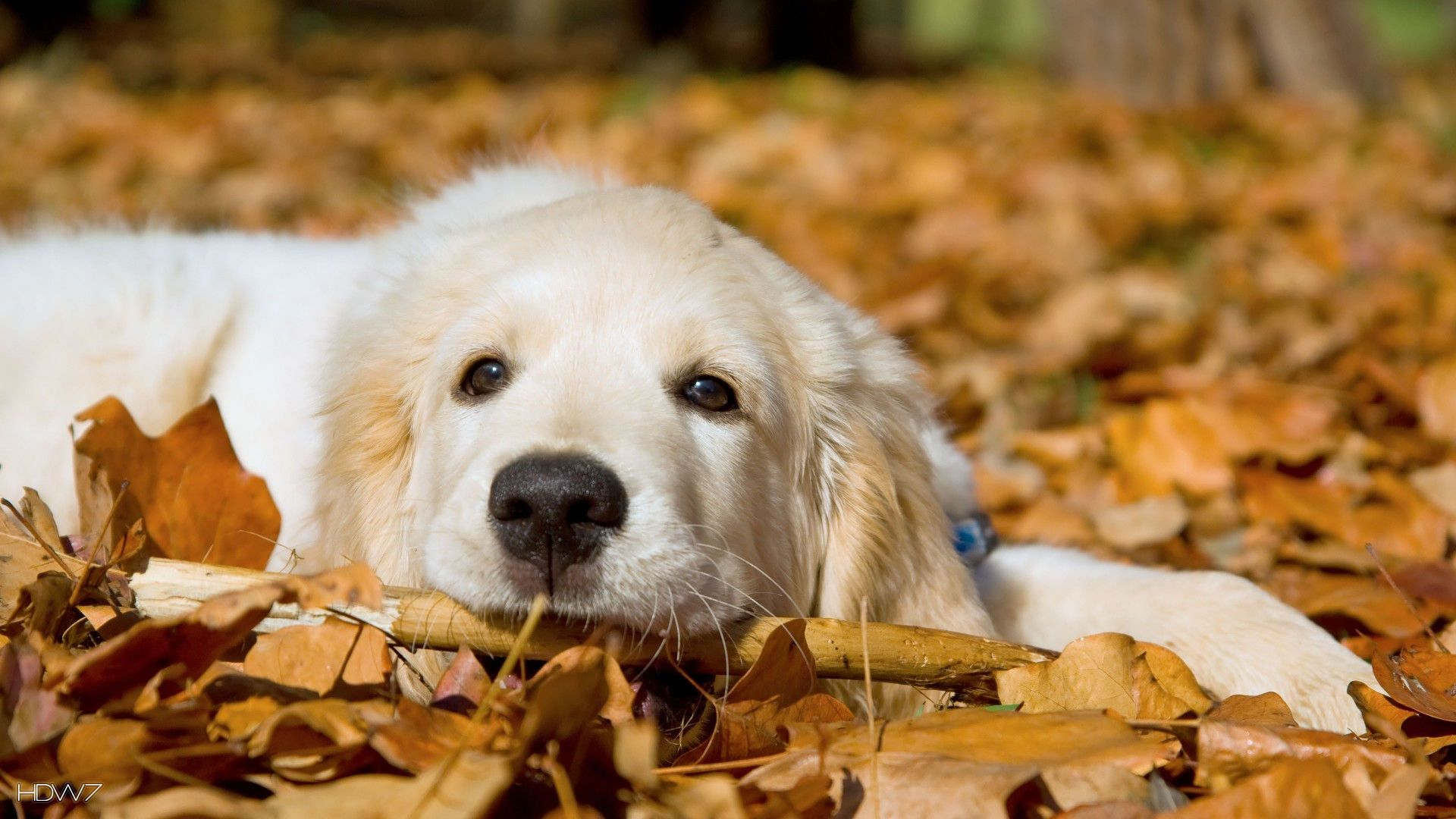 Golden Retriever Hd Wallpapers Top Free Golden Retriever Hd Backgrounds Wallpaperaccess