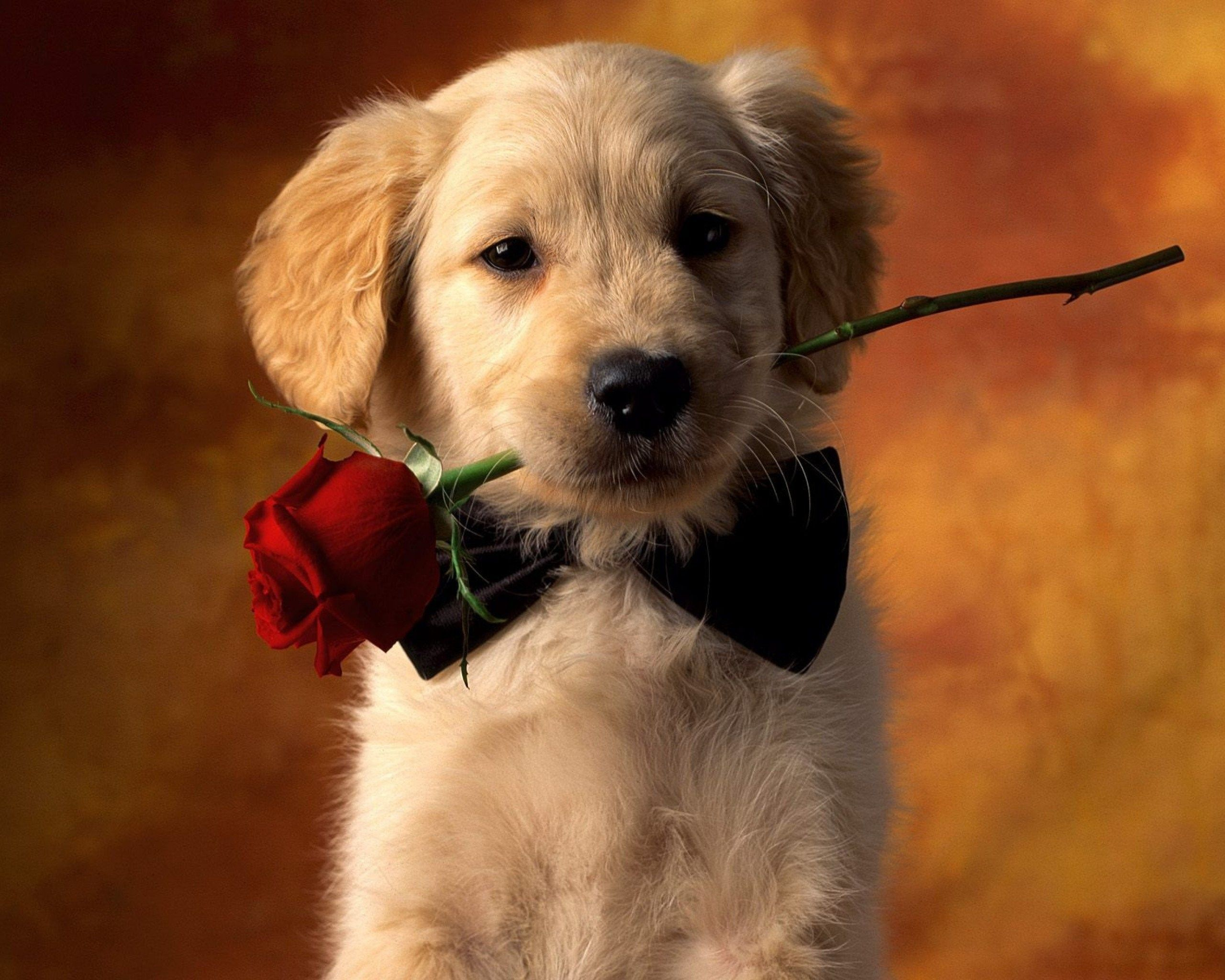 Valentine's Day Puppy Wallpapers - Top