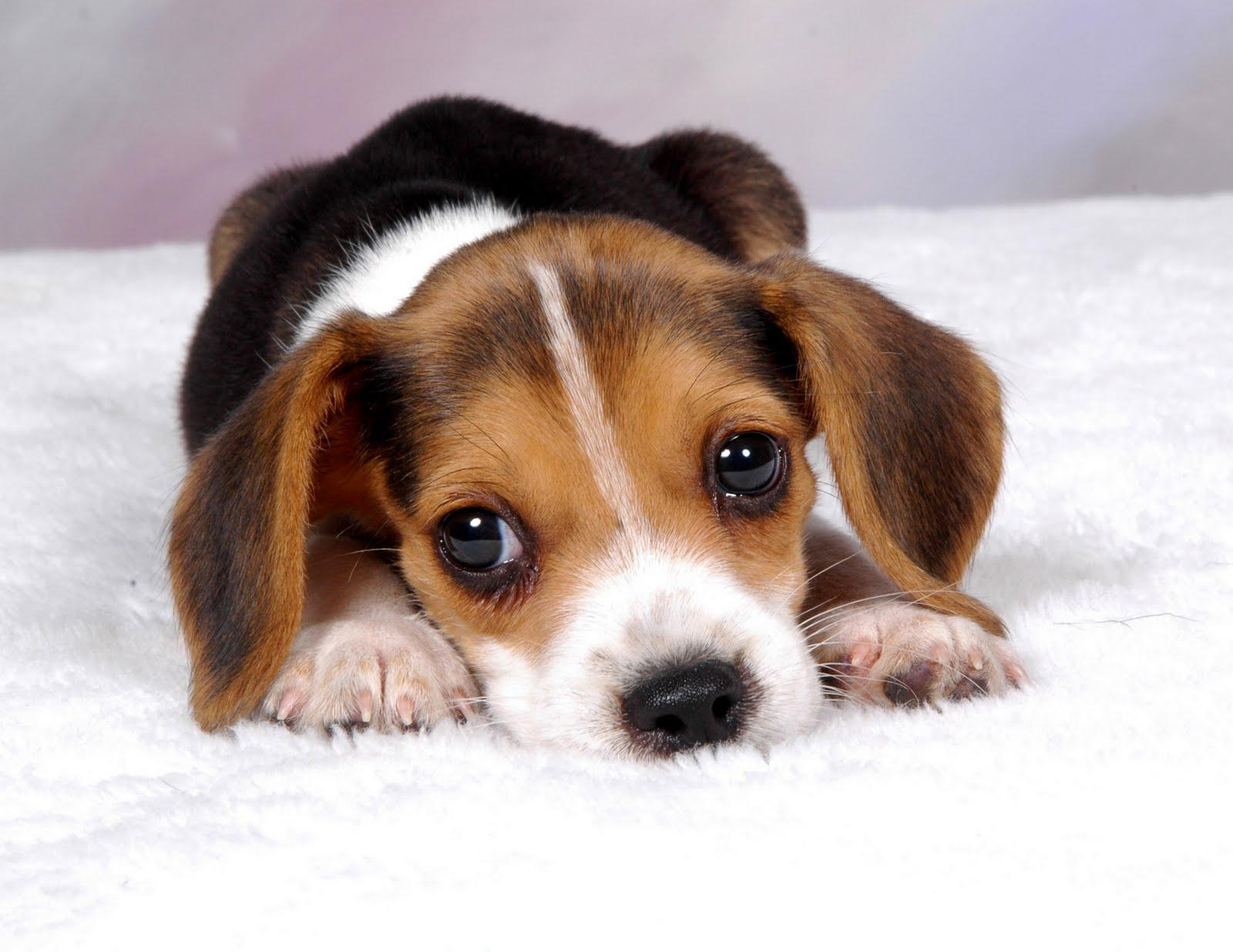 Beagle Puppy Wallpapers Top Free Beagle Puppy Backgrounds Wallpaperaccess
