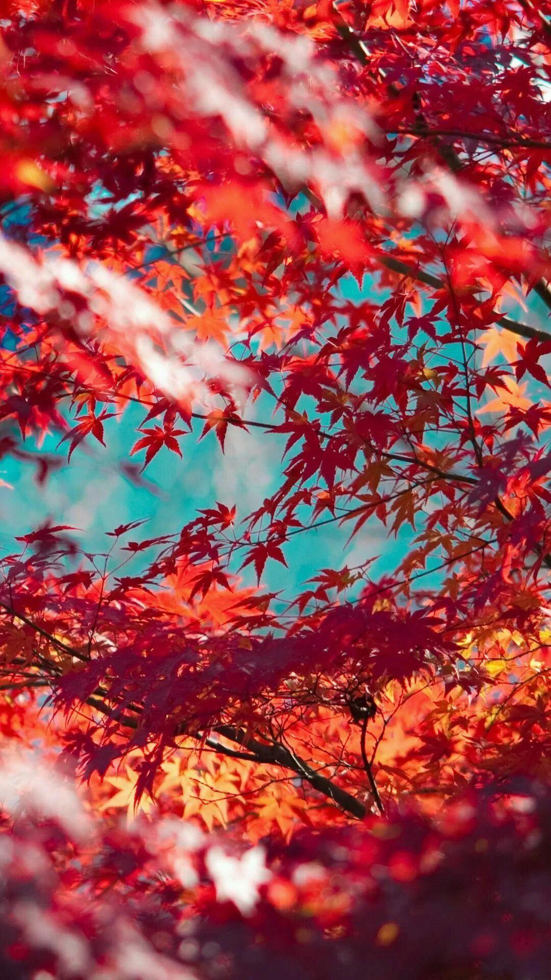 Hình nền iPhone 1080x1920 Beautiful Red Maple Leaves.  Nhấn để xem thêm Hình nền iPhone mùa thu.  Hình nền mùa thu dễ thương, Hình nền cây, Hình nền iPhone mùa thu