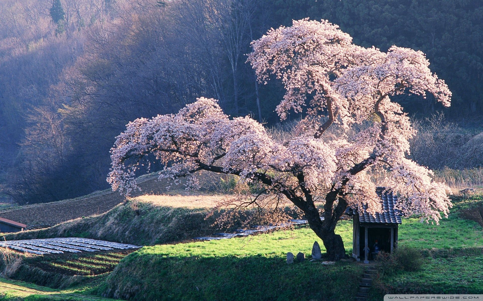 Spring In Japan Wallpapers Top Free Spring In Japan Backgrounds Wallpaperaccess
