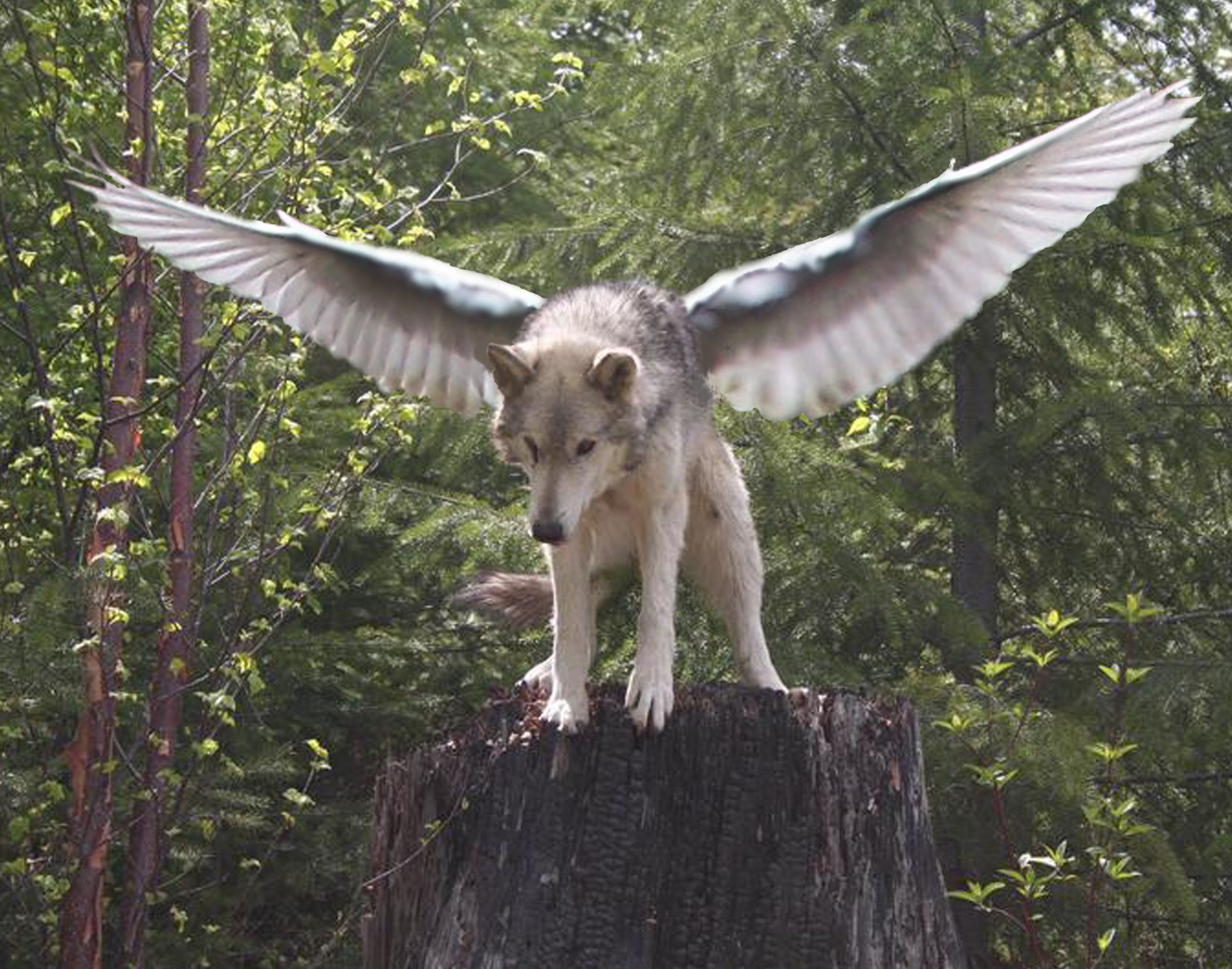 Winged Wolf Wallpapers Top Free Winged Wolf Backgrounds Wallpaperaccess