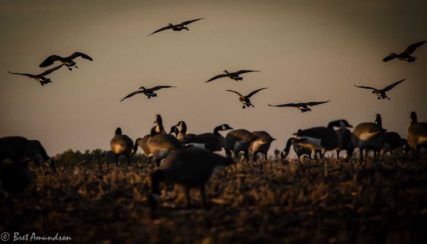 Goose Hunting Wallpapers Top Free Goose Hunting Backgrounds Wallpaperaccess