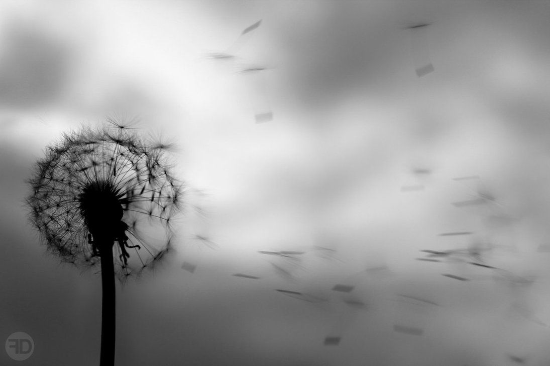 White Dandelion Wallpapers Top Free White Dandelion Backgrounds Wallpaperaccess
