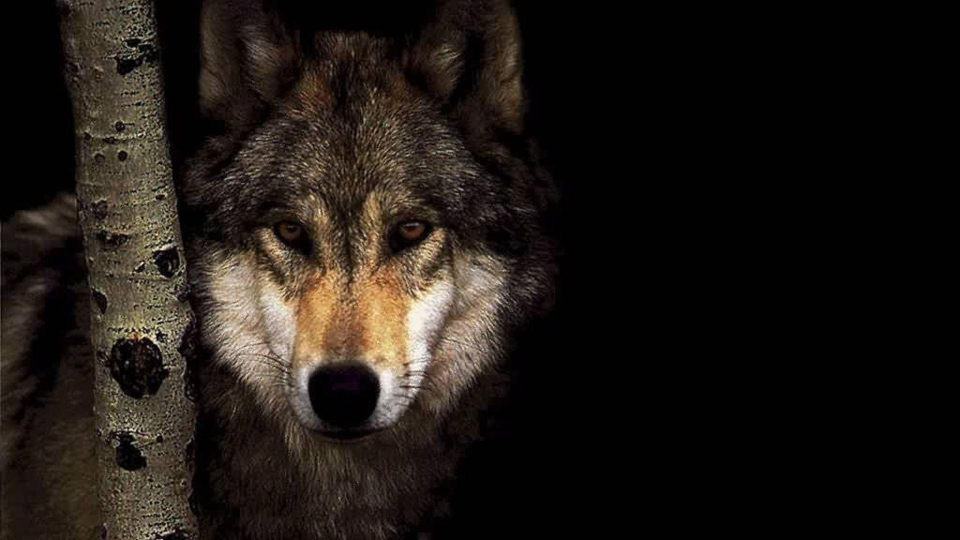 Hình nền chó sói 1920x1080 1920x1080