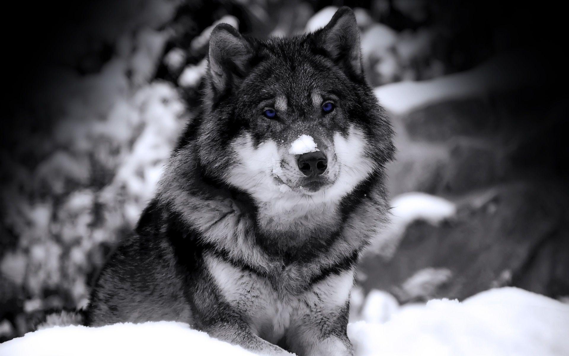 1920x1200 Hình nền con sói huyền bí