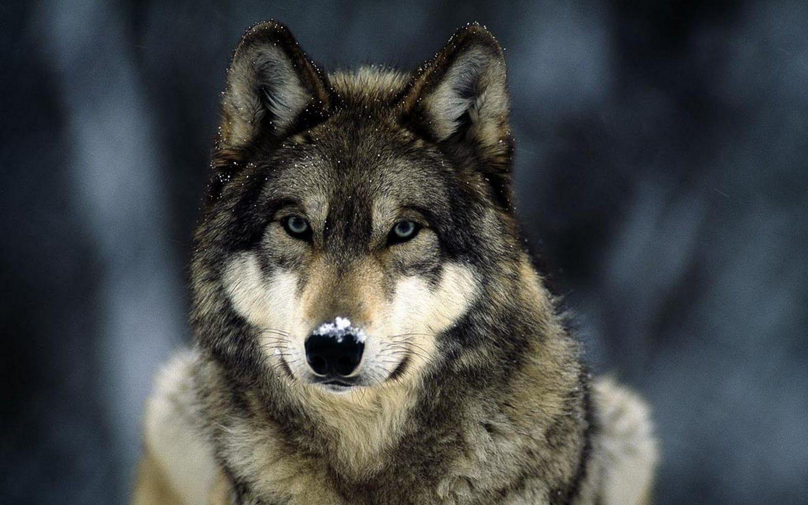 Hình nền chó sói 1600x1000 16307 1600x1000 px