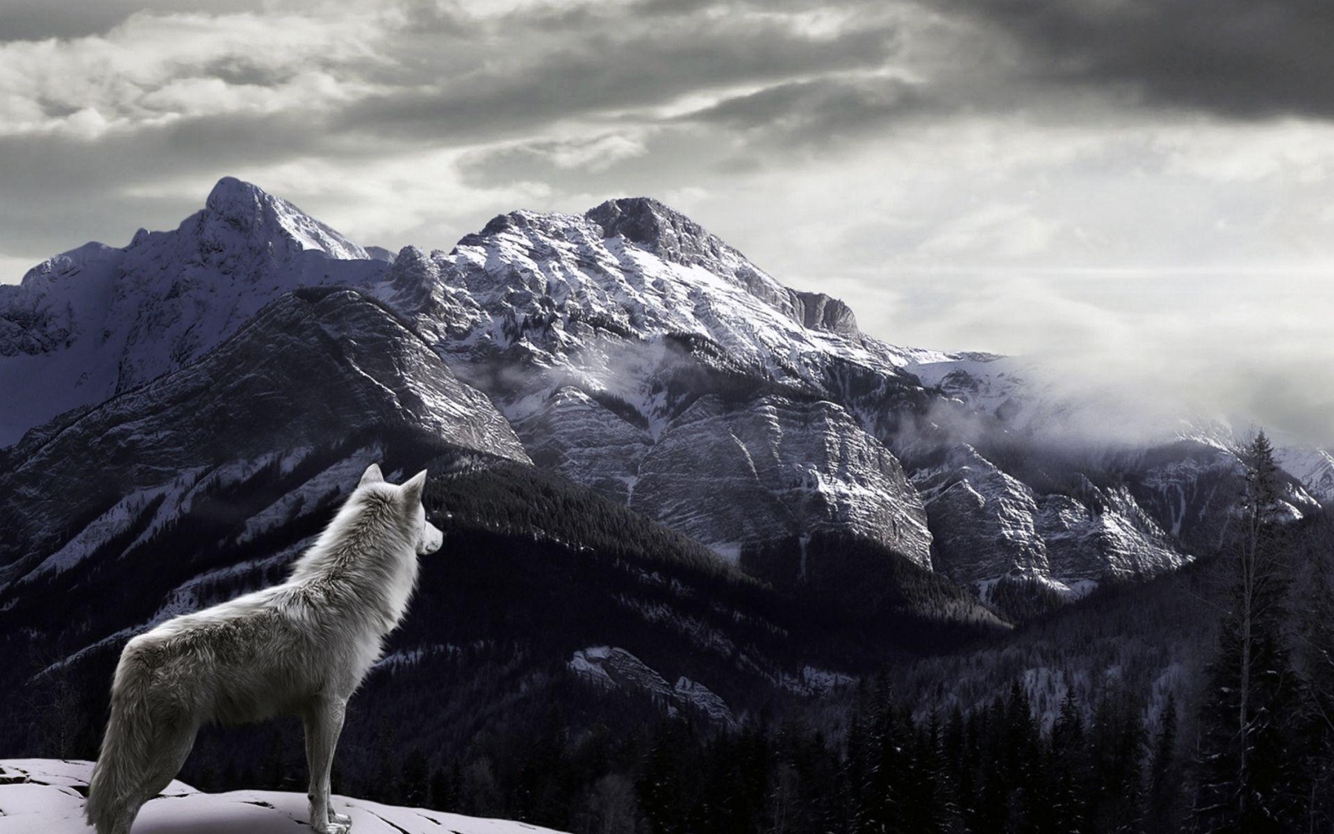 Hình nền con sói trắng 1920x1200, Hình nền độ phân giải cao 37 con sói trắng