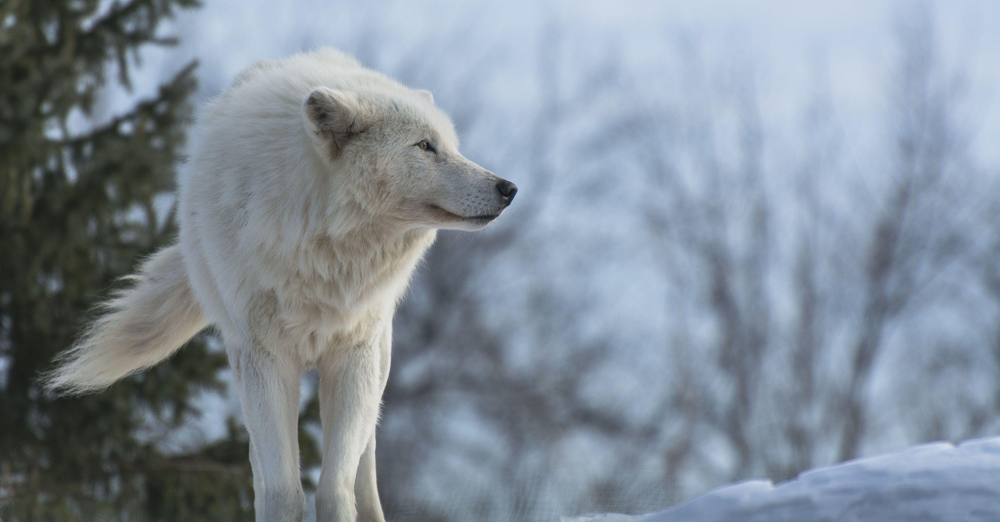 Tải xuống miễn phí hình nền chó sói trắng 3200x1672 - Tải hình nền HD miễn phí