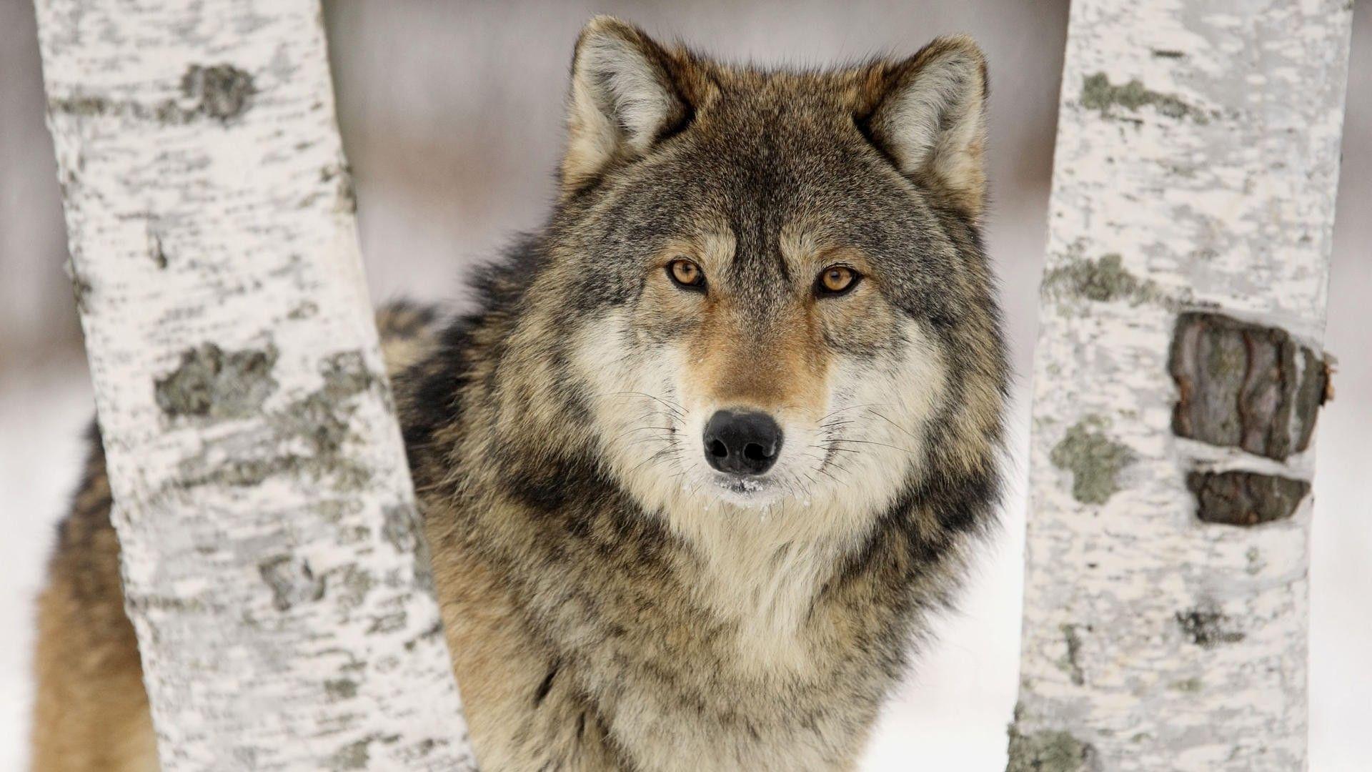 Hình nền chó sói 1920x1080 HD 43159 1920x1080 px