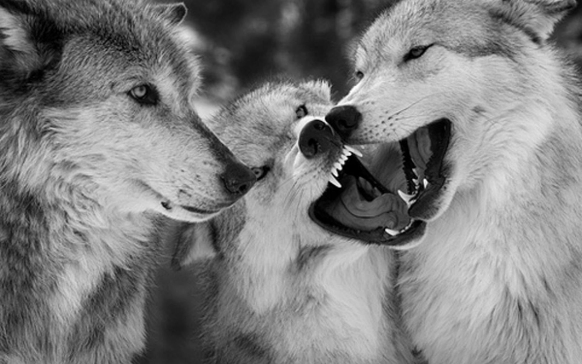1920x1200 Wolves HD Wallpaper Gallery (78 Plus) PIC WPW5012077
