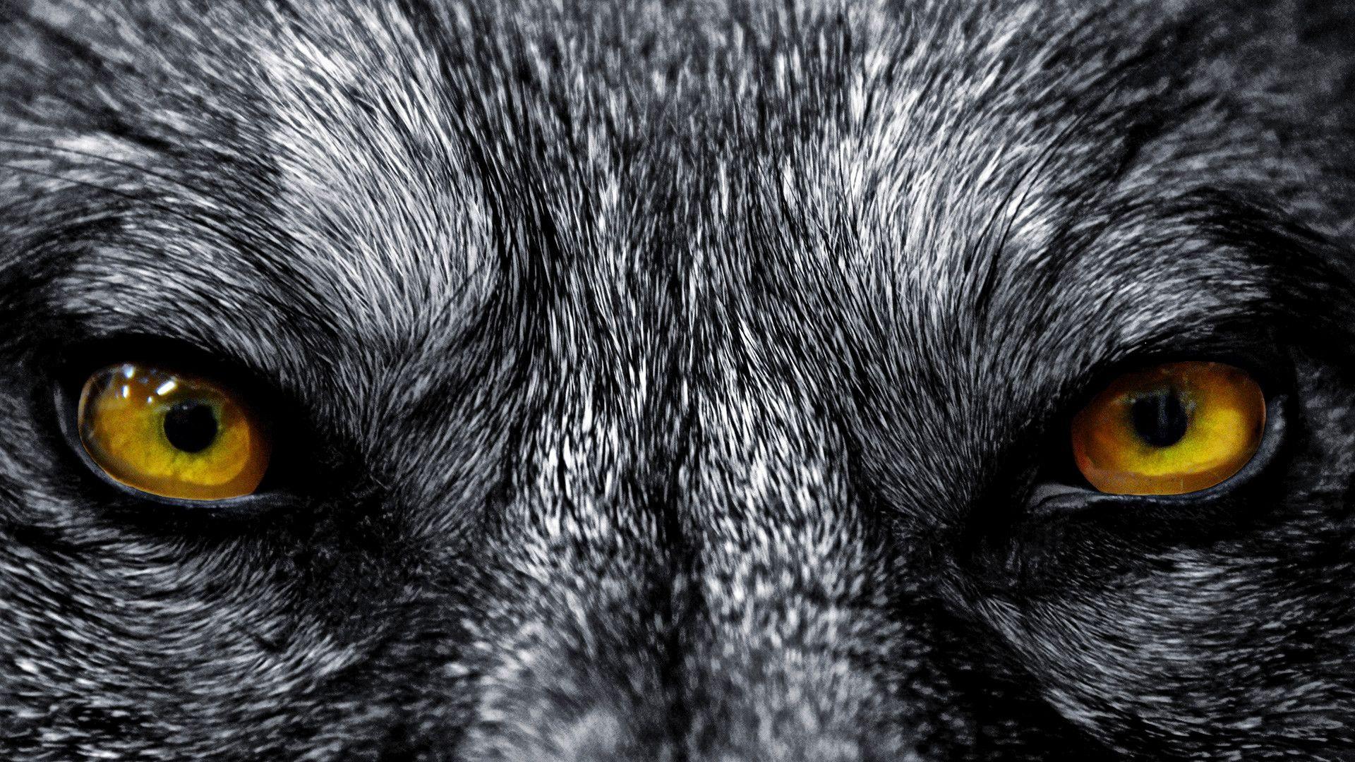 Hình nền chó sói 1920x1080 HD 1080p