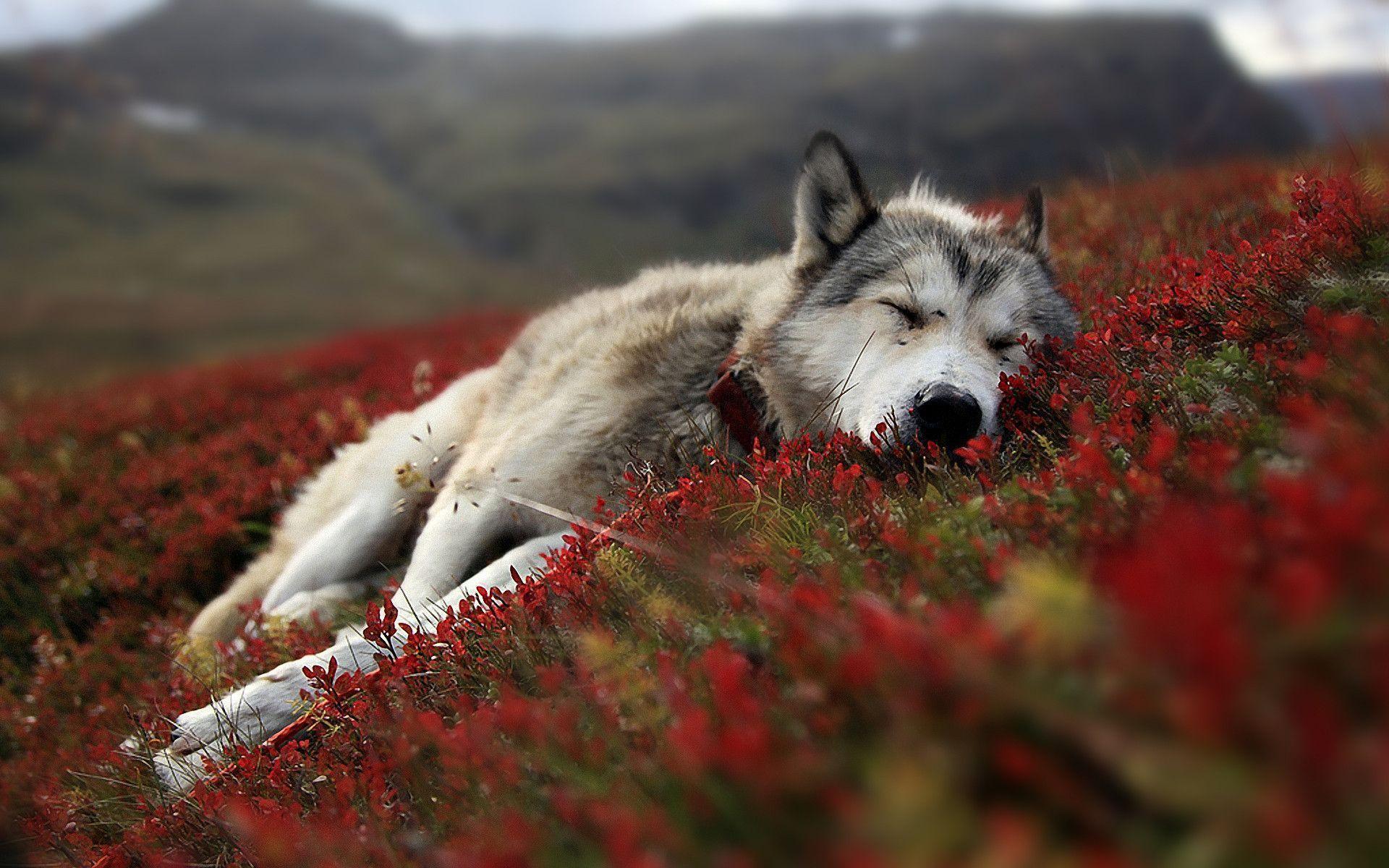 Hình nền chó sói 1920x1200