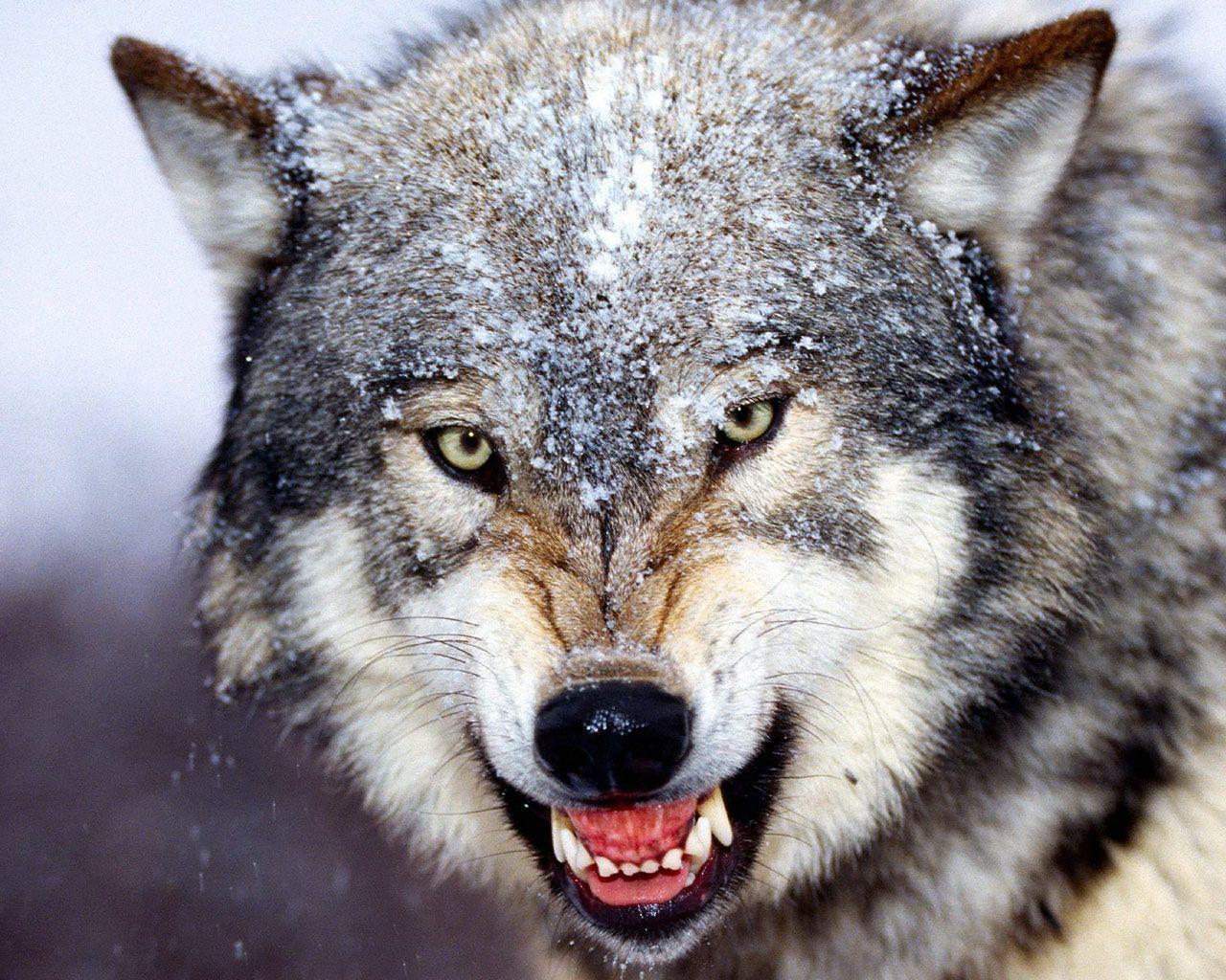 1280x1024 Hình nền HD tuyệt vời: Hình nền chó sói