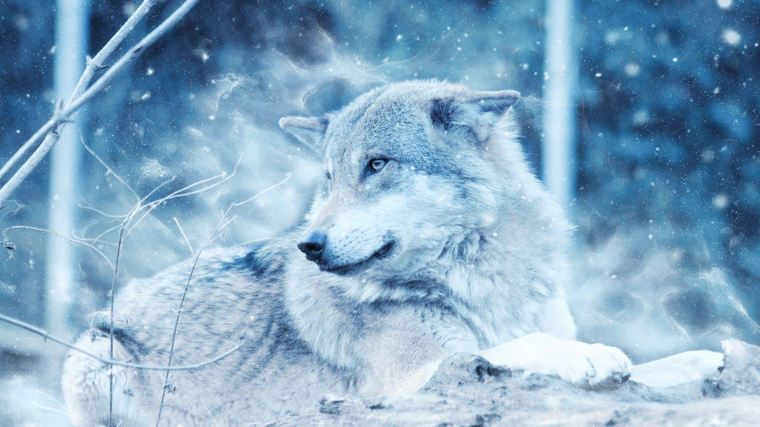 2560x1440 Hình nền chó sói, hoang dã, Tuyết, Mùa đông, Lạnh, độ phân giải cao, động vật