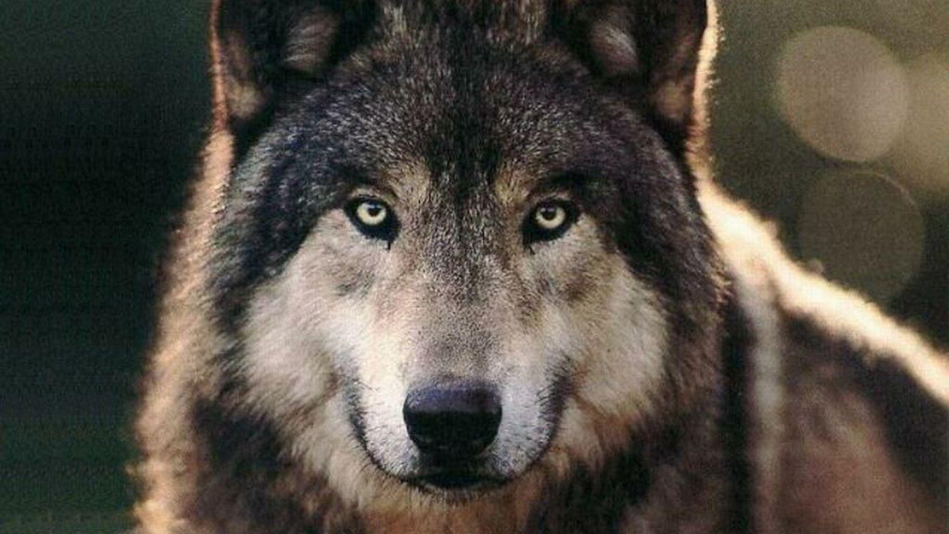 Hình nền HD 1920x1080 Wolves