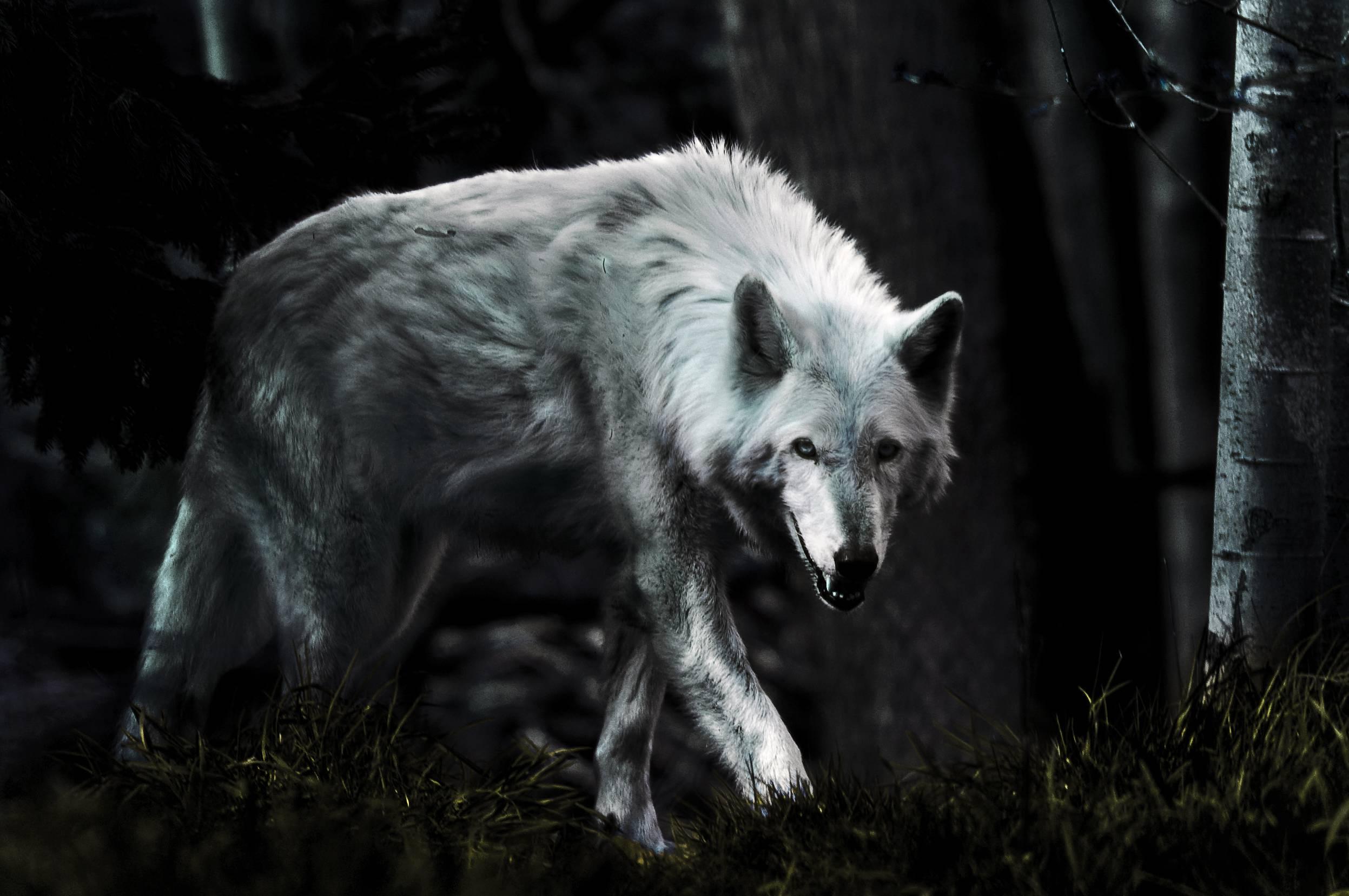 Hình nền con sói đen 2494x1658 - Nhận hình nền HD miễn phí