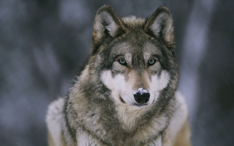 Hình nền chó sói 2880x1800 độ phân giải cao - Tải xuống Hình nền Tốt nhất
